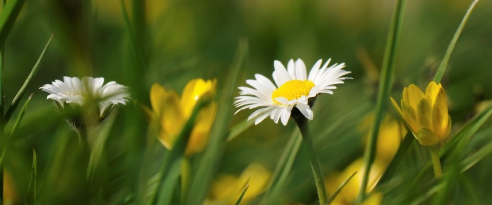 Daisy-and-Celandine